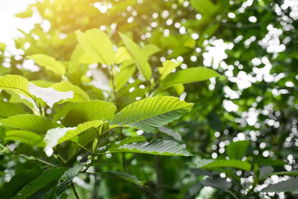 Kratom Plant